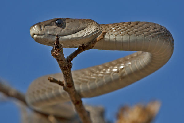 Image of black mamba snake sitting in a tree in South Africa.